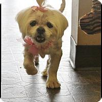 Adopt A Pet :: Macy - Rockwall, TX
