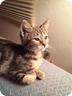 Domestic Shorthair Kitten for adoption in San Jose, California - Mister