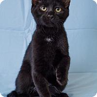Domestic Shorthair Kitten for adoption in Alpharetta, Georgia - Franklin