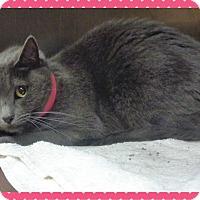 Domestic Shorthair Cat for adoption in Marietta, Georgia - JJ