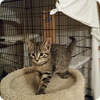 Adopt A Pet :: Salena (Medford Lakes Kitten) - Medford, NJ
