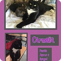 Domestic Mediumhair Cat for adoption in CLEVELAND, Ohio - Carmella