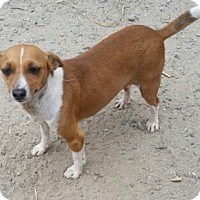 Terrier (Unknown Type, Small)/Chihuahua Mix Dog for adoption in San Diego, California - Torry
