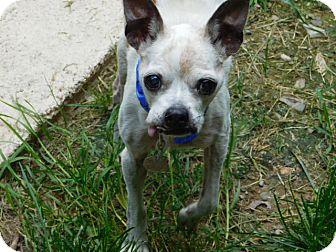 Boston Terrier Dog for adoption in Millerstown, Pennsylvania - EDDIE