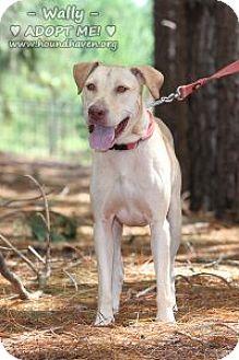 Labrador Retriever Mix Dog for adoption in Minneola, Florida - Walter D (Wally)