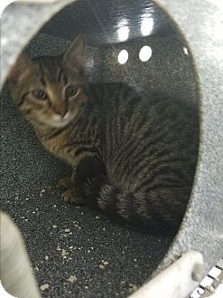 Domestic Shorthair Kitten for adoption in Henderson, North Carolina - Loki