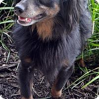 Adopt A Pet :: Basil-Adoption pending - Bridgeton, MO