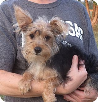 Yorkie, Yorkshire Terrier Puppy for adoption in Allentown, Pennsylvania - Lester