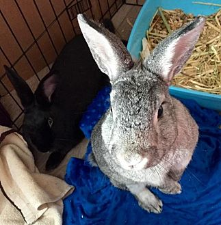 Silver Mix for adoption in Los Angeles, California - Archie