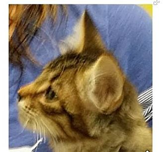 Domestic Shorthair Kitten for adoption in Red Bluff, California - MARY