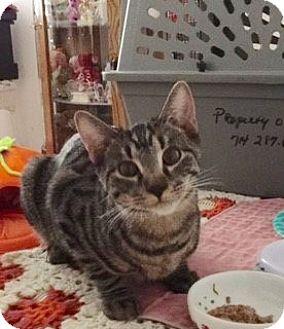 Domestic Shorthair Kitten for adoption in Brea, California - ROSCOE