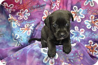 Labrador Retriever Mix Puppy for adoption in Alexandria, Virginia - Callebaut (Chocolate Crew)