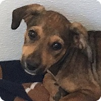 Cocker Spaniel/Beagle Mix Puppy for adoption in Pennigton, New Jersey - Hillary