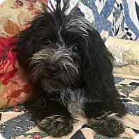 Adopt A Pet :: Holly - Santa Ana, CA