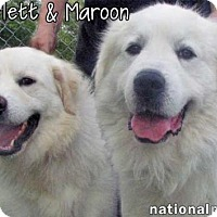 Adopt A Pet :: Scarlett & Maroon - new! - Beacon, NY