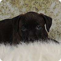 Adopt A Pet :: Slinkie's Kenya aka American G - Las Vegas, NV