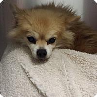 Adopt A Pet :: Cherrie - Westminster, CA