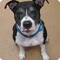 Adopt A Pet :: Ollie - Norwalk, CT