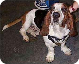 Basset Hound Mix Dog for adoption in Marietta, Georgia - B.J.
