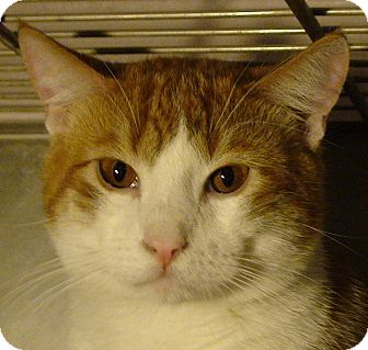 Domestic Shorthair Cat for adoption in El Cajon, California - Reuben