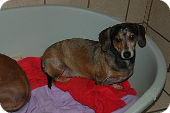 Dachshund Dog for adoption in san antonio, Texas - Binki