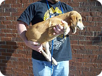 Labradoodle/Coonhound (Unknown Type) Mix Puppy for adoption in Germantown, Maryland - Logan