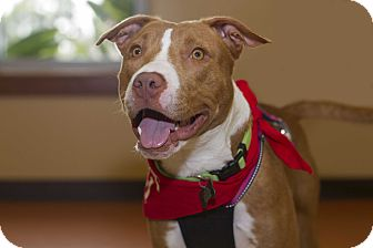 American Pit Bull Terrier Mix Dog for adoption in Baton Rouge, Louisiana - Schotzy