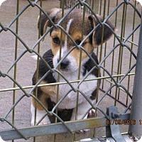 Adopt A Pet :: Archie - Williston Park, NY