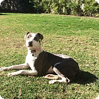 Adopt A Pet :: Misty - Santa Monica, CA