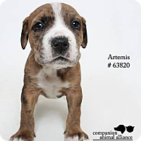 Adopt A Pet :: Artemis (Foster) - Baton Rouge, LA