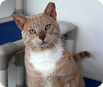 Domestic Shorthair Cat for adoption in Sarasota, Florida - Bernard