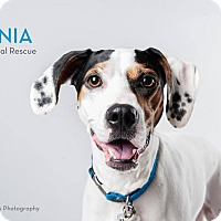 Adopt A Pet :: Shania - Garden City, MI