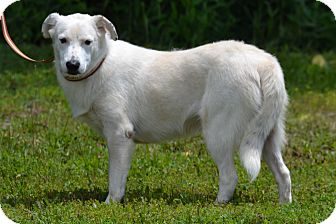 Great Pyrenees Mix Dog for adoption in Lebanon, Missouri - Olaf