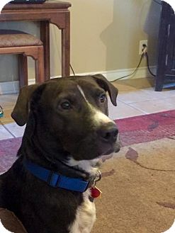 Labrador Retriever Mix Dog for adoption in San Antonio, Texas - Jasper