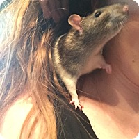 Rat for adoption in Welland, Ontario - Jack