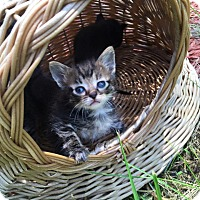 Domestic Shorthair Kitten for adoption in Silver Lake, Wisconsin - Gouda