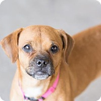 Adopt A Pet :: Bree - Scottsdale, AZ
