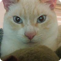 Domestic Shorthair Cat for adoption in Glen cove, New York - TNT & CO
