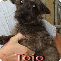 Adopt A Pet :: Toto - Coleman, TX