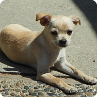 Adopt A Pet :: Sandy - Studio City, CA