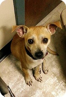 Chihuahua/Terrier (Unknown Type, Small) Mix Dog for adoption in Rexford, New York - Spanky
