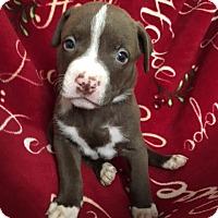 American Staffordshire Terrier/American Pit Bull Terrier Mix Puppy for adoption in San Diego, California - Rea