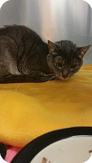 Domestic Shorthair Cat for adoption in Baltimore, Maryland - Penelope (COURTESY POST)