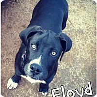 American Bulldog/Shepherd (Unknown Type) Mix Puppy for adoption in Mobile, Alabama - Floyd