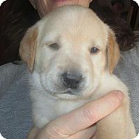 Adopt A Pet :: Rory: Maisy's Litter - Island Lake, IL