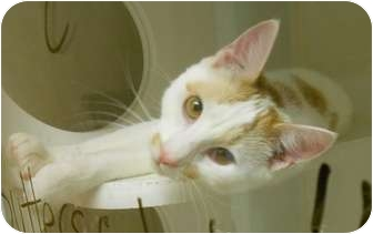 Domestic Shorthair Cat for adoption in Maywood, New Jersey - George
