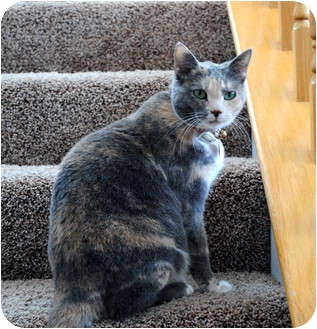 Calico Cat for adoption in Palmdale, California - Sara