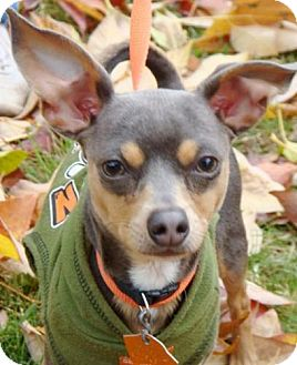 Chihuahua Mix Dog for adoption in Red Bluff, California - Blue