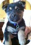 Labrador Retriever/Shepherd (Unknown Type) Mix Puppy for adoption in East Hartford, Connecticut - Ginger ADOPTION PENDING