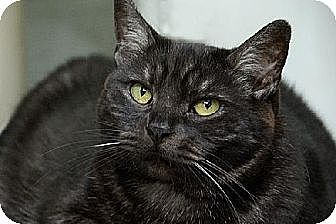 Domestic Mediumhair Cat for adoption in Seal Beach, California - Fantasia